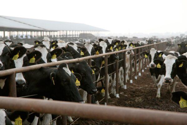 Cows on a farm in California